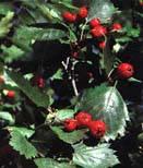 hawthorneberries2